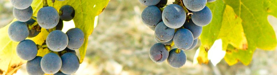 Viniculture.pl – Winna Strona Życia