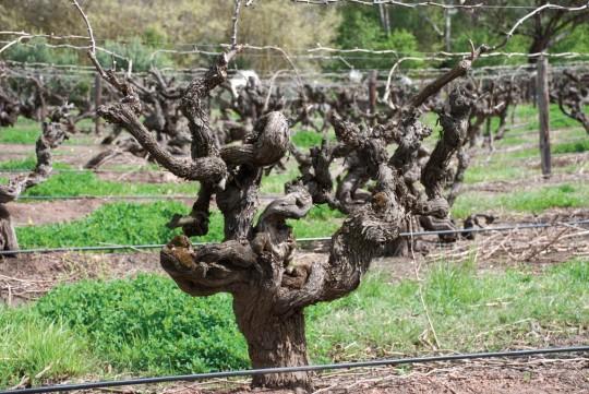Yalumba 100 letni krzew shiraz