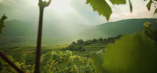 Alzacja - wino - region winiarski